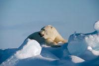fn84642 polar bear arctic dup