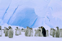 EMPEROR PENGUINS WEDDELL SEA ANTARCTICA