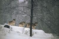 TIMBER WOLF, MINNESOTA 01543000254| 写真素材・ストックフォト・画像・イラスト素材|アマナイメージズ
