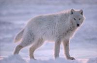 ARCTIC WOLF, ELLESMERE ISL.CANADA
