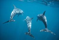 夏の3頭のバンドウイルカ 水中撮影 ガラパゴス諸島