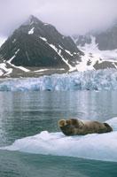 流氷に横たわるアゴヒゲアザラシ スバールバル ノルウェー