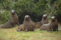 野原の4頭のアシカの子供 ニュージーランド