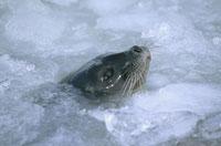 氷原から顔を出すワモンアザラシ スバールバル ノルウェー