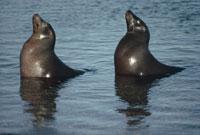 水面で横並びの2頭のガラパゴスアシカ ガラパゴス諸島