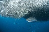 オグロメジロザメ 水中撮影 ソロモン島 01543010087| 写真素材・ストックフォト・画像・イラスト素材|アマナイメージズ
