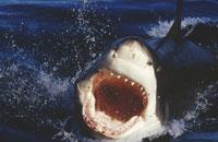 水面から顔を出し口を開けるホホジロザメ ネプチューン島 01543010088| 写真素材・ストックフォト・画像・イラスト素材|アマナイメージズ