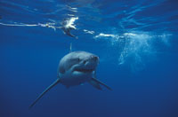 ホホジロザメ 水中撮影(青) ネプチューン島 オーストラリア 01543010090| 写真素材・ストックフォト・画像・イラスト素材|アマナイメージズ