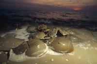 デラウェア湾のカブトガニ ニュージャージー州 アメリカ