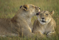 AFRICAN LION, MASAI MARA, KENYA 01543010171| 写真素材・ストックフォト・画像・イラスト素材|アマナイメージズ