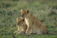 AFRICAN LION RESTING, ZIMBABWE