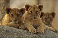 AFRICAN LION, ZIMBABWE 01543010181| 写真素材・ストックフォト・画像・イラスト素材|アマナイメージズ