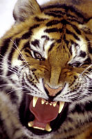 SIBERIAN TIGER GROWLING, ASIA
