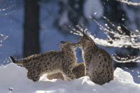 EUROPEAN LYNX(Lynx lynx), GERMANY