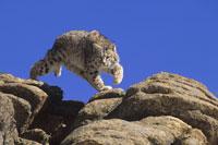 BOBCAT (Felis rufus), COLORADO