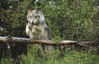 木を飛び越えるシンリンオオカミ 北アメリカ