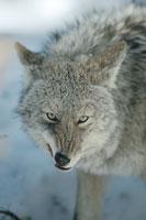 怒るコヨーテ 北アメリカ 01543010282| 写真素材・ストックフォト・画像・イラスト素材|アマナイメージズ