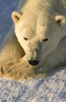 POLAR BEAR, WAPUSK NATIONAL PARK, CANADA