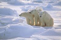 氷原の3頭のホッキョクグマ(白) マニトバ州 カナダ