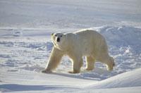 POLAR BEAR, HUDSON BAY, MANITOBA, CANADA