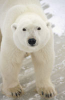 POLAR BEAR, CHURCHILL, MANITOBA, CANADA