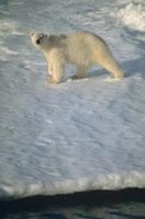 冬の氷原のホッキョクグマ(白) スバルバール ノルウェー