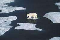 POLAR BEAR, ELLESMERE ISLAND, CANADA