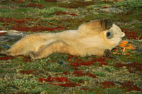 SLEEPING POLAR BEAR ON TUNDRA
