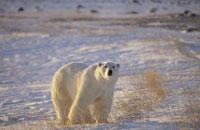 POLAR BEAR STANDING ON ICE FIELD, CANADA