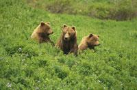 ALASKAN BROWN BEAR, ALASKA 01543010337| 写真素材・ストックフォト・画像・イラスト素材|アマナイメージズ