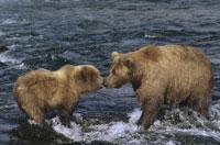 夏のカトマイ国立公園のクマの親子 アラスカ州 アメリカ