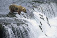 滝登りをする鮭を待つクマ カトマイ国立公園 アラスカ州