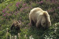GRIZZLY BEAR, DENALI NATIONAL P, ALASKA