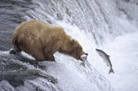 夏のカトマイ国立公園で滝登りをする鮭をくわえるクマ アラスカ