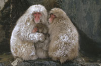 JAPANESE MACAQUE FAMILY�C hot springs