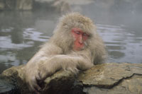 JAPANESE MACAQUE, JAPANESE ALPS, NAGANO