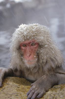 JAPANESE MACAQUE�C JAPANESE ALPS�C JAPAN