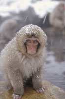 JAPANESE MACAQUE�C IN HOT SPRINGS�C NAGANO