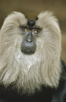 LION-TAILED MACAQUE PORTRAIT, INDIA