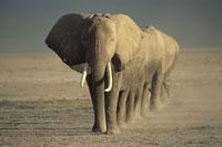 AFRICAN ELEPHANT, AMBOSELI NATL P, KENYA 01543010465| 写真素材・ストックフォト・画像・イラスト素材|アマナイメージズ
