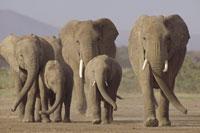 アンボセリ国立公園の5頭のアフリカゾウの親子 ケニヤ