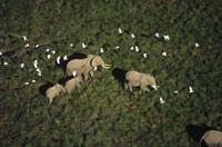 アフリカゾウとショウジョウサギの群れ ケニヤ