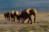 AFRICAN ELEPHANT, HERD WALKING IN A LINE