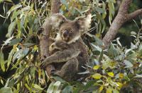 ユーカリの木に登るコアラ オーストラリア