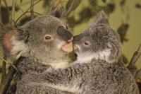 KOALA W/ JOEY, EASTERN AUSTRALIA