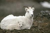 DALL SHEEP & KID RECLINING, SPRING, AK