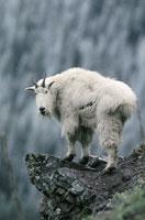 グレーシャー国立公園の岩の上のシロイワヤギ モンタナ州