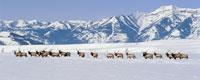 ELK IN SNOW, NATIONAL ELK REFUGE, WY