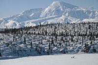 BARREN GROUND CARIBOU ON SNOW FIELD�C AK