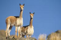 パンパガレラス国立保護区の2匹のビクーニャ ペルー 01543010568| 写真素材・ストックフォト・画像・イラスト素材|アマナイメージズ